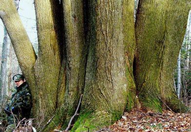 Niezwykła lipa z iwonickiego lasu już z imieniem